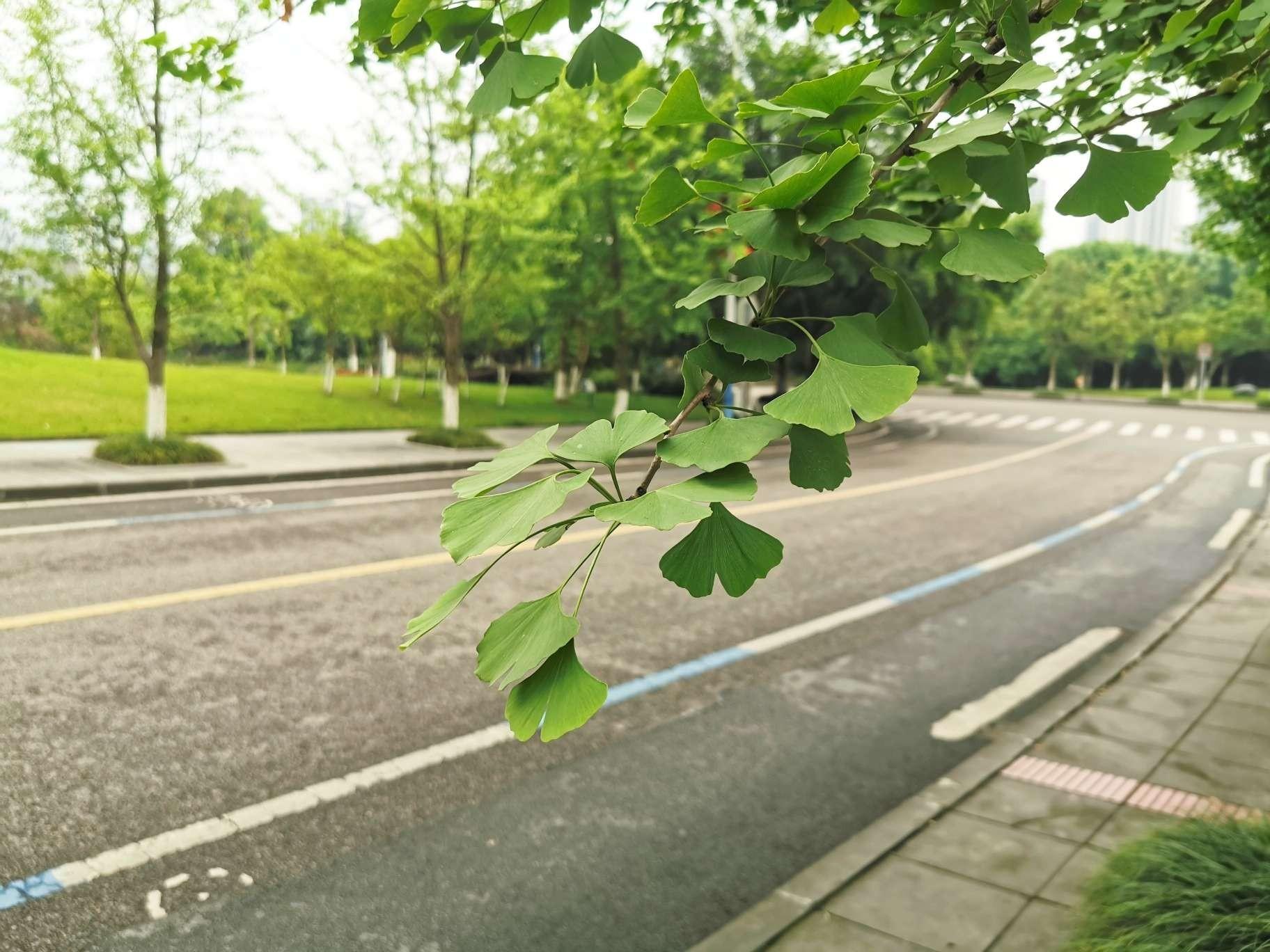 校园银杏树
