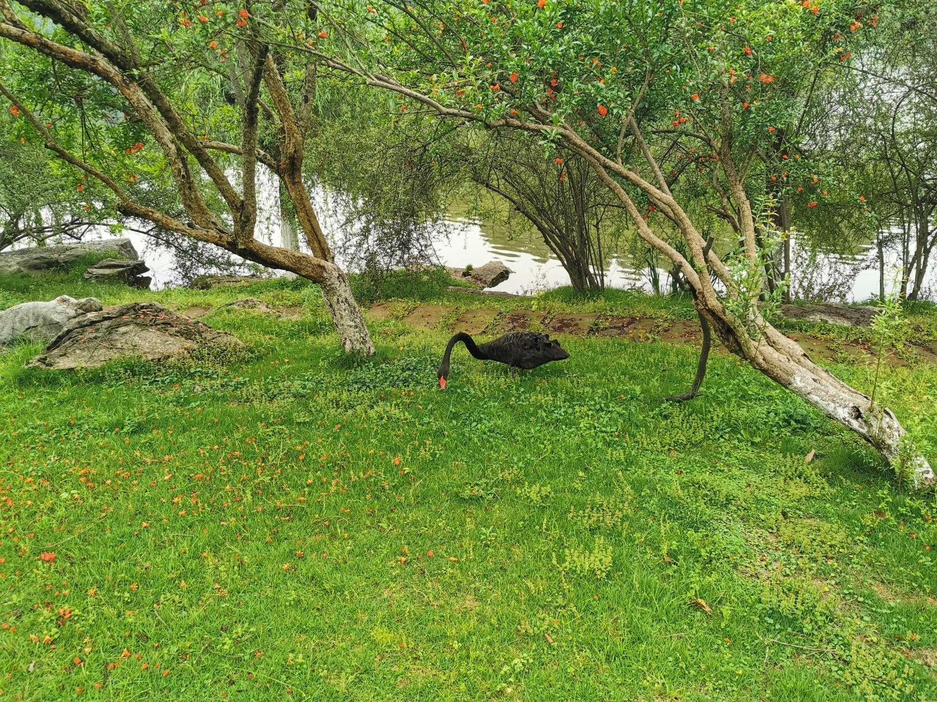 缙湖黑天鹅