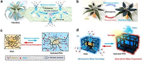 宁波材料所在有机凝胶进行光热空气集水研究中取得进展--图1.POG仿生策略的设计