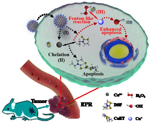 上海硅酸盐所在纳米催化医学研究中取得进展-- 图1.双硫仑螯合铜离子并引发芬顿反应,达到化疗与催化肿瘤治疗的协同治疗效果