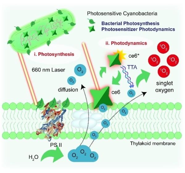 图3.光敏蓝藻细菌的光激发光合作用增敏PDT示意图