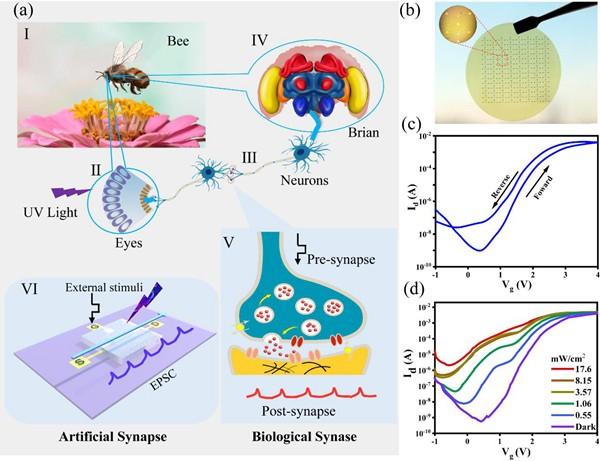 基于氧化锌纳米线和海藻酸钠制备的具有光感知功能的柔性仿生突触晶体管