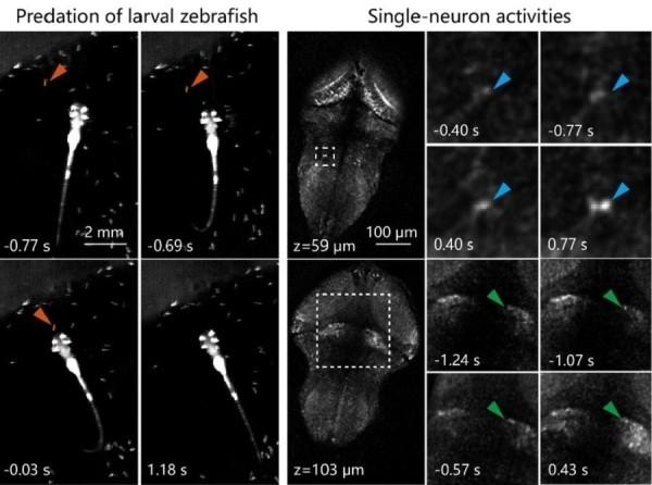 图2.(左)斑马鱼幼鱼捕食行为的一个例子。0s 为斑马鱼吞食草履虫的时刻。(右)左图斑马鱼捕食行为中,共聚焦光场显微镜记录到的两个不同脑区的神经元活动。箭头所指为过程中激活的单个神经元。