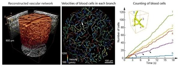图3.(左)共聚焦光场显微镜拍摄得到的小鼠视皮层中的复杂血管网络。6个在不同深度拍摄的体积连接为一个深度达600 μm的三维结构。(中)100 μm到250 μm深度血管网络的平面投影,颜色代表不同血管分支中血细胞的平均流速。(右)图中箭头所指的区域中五个血管分支在一段时间内流过血细胞数量的计数。