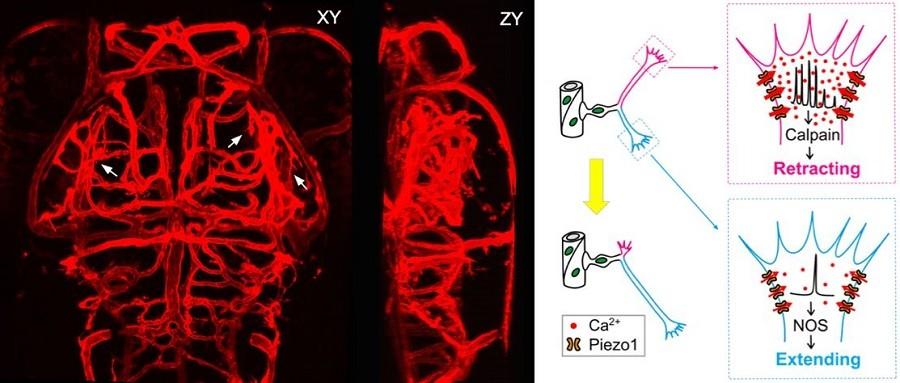 神经科学研究所发现大脑三维血管网络形成的细胞和分子机制