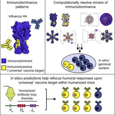 迈向通用流感疫苗的一步,研究人员设计抵抗任何流感病毒的方法