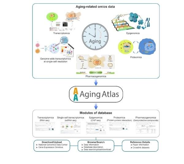北京基因组所等合作建立衰老生物学多组学数据库