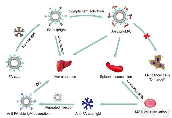 复旦团队发现血液中天然IgM为叶酸结合蛋白负调控叶酸修饰的纳米药物体内性能