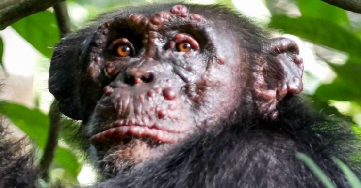 首次在野生黑猩猩中发现麻风病